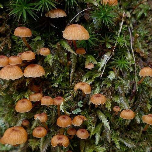 Funghi piccoli e marroni fra il muschio