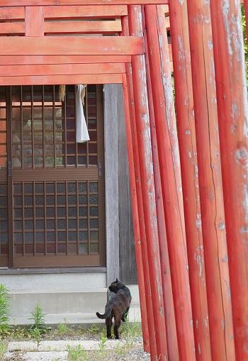 gatto nero alla porta del tempio e torii rossi