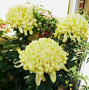 tre crisantemi a petali gialli