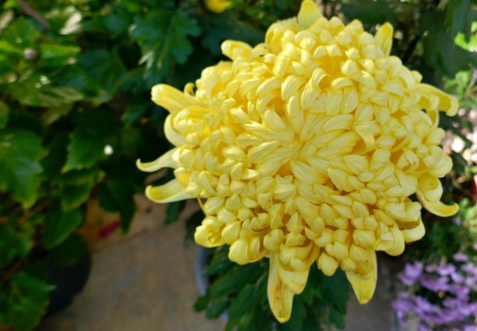 crisantemo giallo